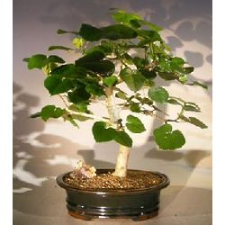 Flowering Sea Hibiscus Bonsai Tree