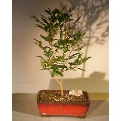 Flowering Mickey Mouse Bonsai Tree