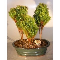 Northern White Cedar Bonsai Tree