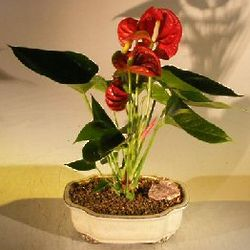 Flowering Red Anthurium Bonsai Tree