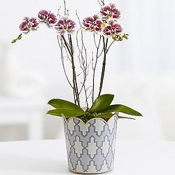 Potted Double Stem Painted Purple Orchid