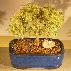 Flowering Myrtle Variegated Bonsai Tree