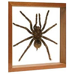 Tarantula Display