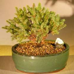 Dwarf Black Spruce Bonsai Tree