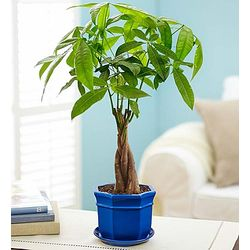 Braided Trunk Small Money Tree Bonsai