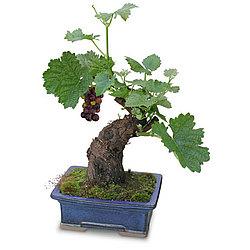 Cabernet Grape Bonsai Tree