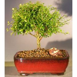10 Inch Tall Flowering Tropical Boxwood Bonsai Tree