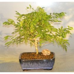 8 Year Old Flowering Princess Earrings Bonsai Tree
