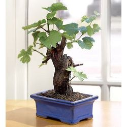 Cabernet Wine Grape Bonsai