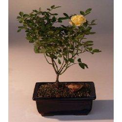 Mini Rose Bonsai Tree
