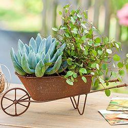 Succulent Plants in Wheelbarrow Planter