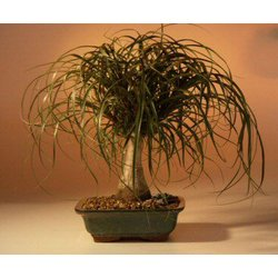 10 Year Old Ponytail Palm Tree