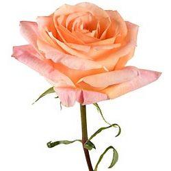 Pina Colada Roses