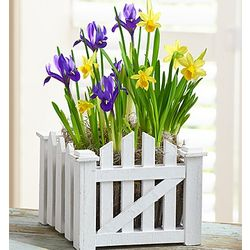 Daffodil and Iris Picket Fence Garden