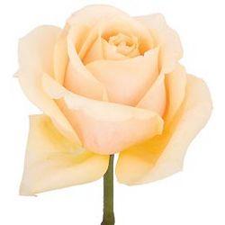 Butterscotch Roses