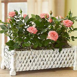 Mini Rose Garden Window Box