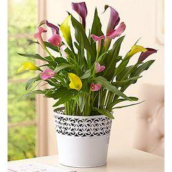 Multicolor Calla Lily Plant