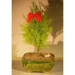Lemon Cypress Bonsai Tree