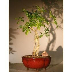 Banyan Style Hawaiian Umbrella Bonsai Tree with Coiled Trunk