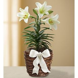 Easter Sentiments Sympathy Lily Plant