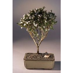 Large Flowering Mount Fuji Serissa Bonsai Tree
