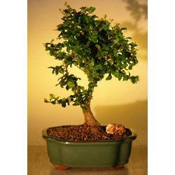 Large Flowering Tropical Boxwood Bonsai Tree