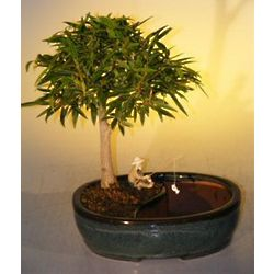 Willow Leaf Ficus Bonsai Tree in Water Pot