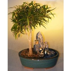 Willow Leaf Ficus Bonsai Tree with Stone Landscape Scene
