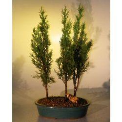 Italian Cypress Evergreen Bonsai Three Tree Group