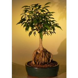 Ficus Root Over Rock Bonsai Tree