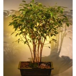 Variegated Ficus Bonsai Tree Forest Group