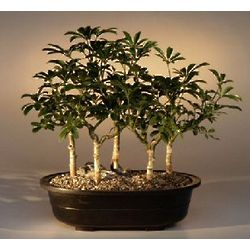 Hawaiian Umbrella Bonsai Five Tree Group