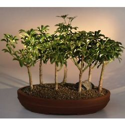 7 Hawaiian Umbrella Tree Forest Group Bonsai