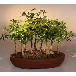 9 Hawaiian Umbrella Tree Forest Group Bonsai