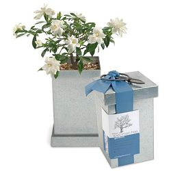 White Flower Gardenia Bonsai Tree
