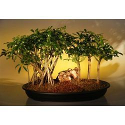 Hawaiian Umbrella Bonsai Trees