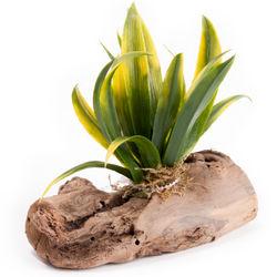 Aloe Aquarium Plant