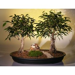 Large Ficus Bonsai Trees