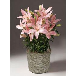 Tiny Athlete Lilies Beautiful Bulb Basket