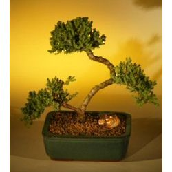 Curved Trunk Juniper Bonsai Tree