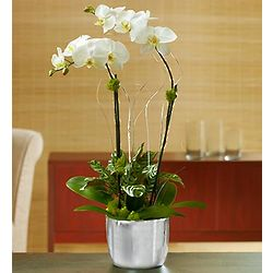 Small Silver Celebration Orchids