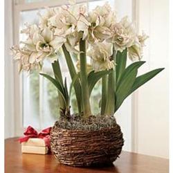 Harlequin Amaryllis Trio Bulb Garden