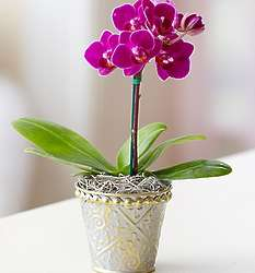 Single Stem Mini Purple Phalaenopsis Orchid in Tin