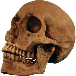 Resin Cranium Skull
