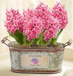 Heavenly Hyacinth in Vintage Tin