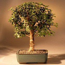 Baby Jade Bonsai Tree in Medium