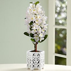 Pearly White Dendrobium Orchid