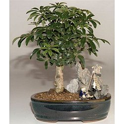 Hawaiian Umbrella Bonsai Tree with Stone Landscape Scene