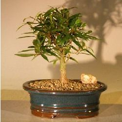 Willow Leaf Ficus Bonsai Tree with Complete Starter Kit