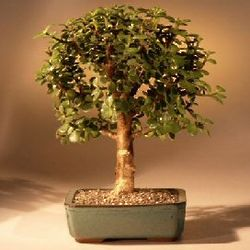 Baby Jade Bonsai Tree with Complete Starter Kit